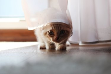 Funny cat hidden under a small white curtain, selective focus.