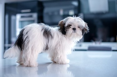 Shih Tzu Standing on a White Reflective Surface Looking Content at the Camera