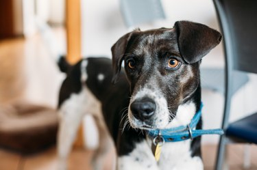 Black and white dog portrait wearing a blue collar
