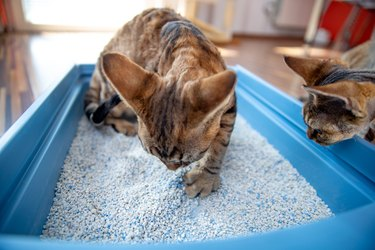 Devon Rex Kitten Digging Sand in Litter Box While Being Watched by Curios Brother - stock photo