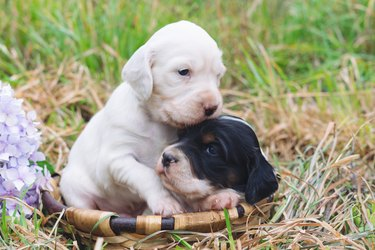 Two cute English setter puppies in a wooden basket with grass bottom. Copy space.