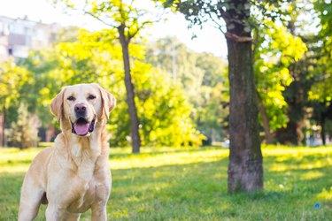 Smiling labrador dog in the city park