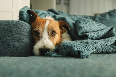 Portrait of sleeping Jack Russell dog on the sofa