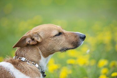 Muzzle of a dog of breed Jack Russell in profile. Beautiful dog in nature.