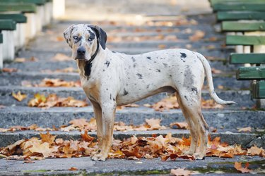 Louisiana Catahoula Leopard dog staying on stairs at autumn park
