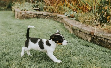 Young Puppy happily walking over Grass