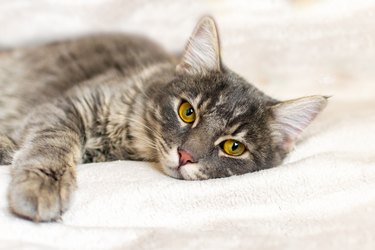 Sad sick young gray cat lies on a white fluffy blanket in a veterinary clinic for pets. Depressed illness animal looks at the camera. Feline health background.