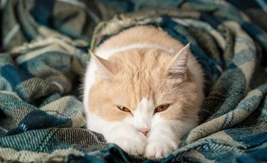 A cute orange and white tabby cat sleeps with its legs stretched out on a warm green plaid blanket. The concept of pets in a cozy home, stay at home, cold season, winter, autumn. Scottish fold cat