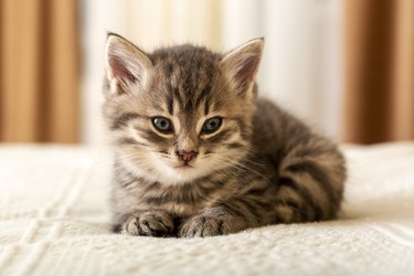 Cute tabby kitten lies on white plaid at home. Newborn kitten, Baby cat, Kid animal and cat concept. Domestic animal. Home pet. Cozy home cat, kitten.