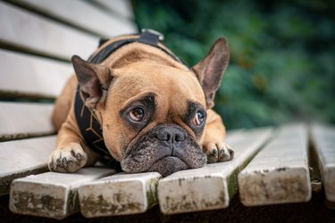 Adorable small French Bulldog dog with sad eyes looking up lying on white bench