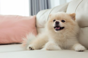 white puppy pomeranian dog cute pet happy smile in home with seat sofa furniture interior decor in living room