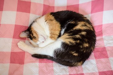 Tricolor cat sleeps on the bed