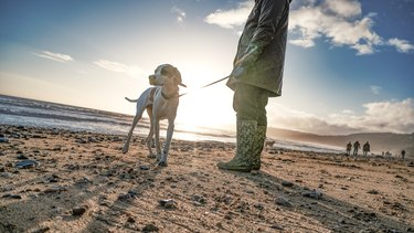 English pointer on beach with a setting sun in the background