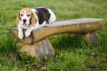 Beagle sleeping on bench