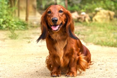 Portrait of a dog breed long-haired Dachshund bright red color in the open air in a summer Park. The well-groomed coat glistens in the sun.
