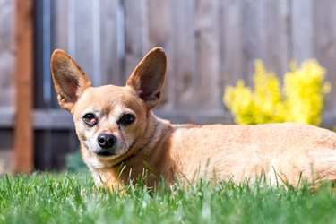 Happy Chiweenie Dog Sitting in Grass on Sunny Day