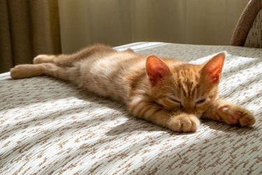 A small beautiful red tabby kitten falls asleep on the couch