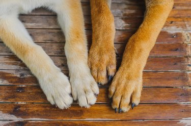 Close-Up Of Dog Paws On Wooden Floor
