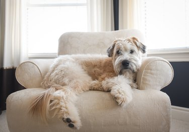 Wheaten dog laying on an upholstered chair in a bright room.