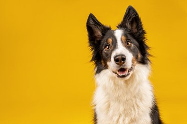 black and white border collie dog say looking intently on bright yellow background