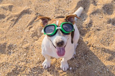 High Angle Portrait Of Dog Wearing Swimming Goggles At Beach