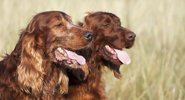 two red golden retrievers in a field