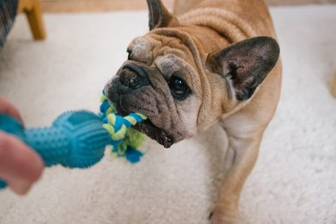 Dog play: fun with the senior bulldog, pull the rope