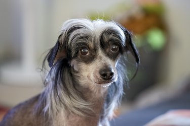 Cute Black & White Chinese Crested Dog looking at the camera