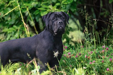 Cane corso dog outdoors in a field
