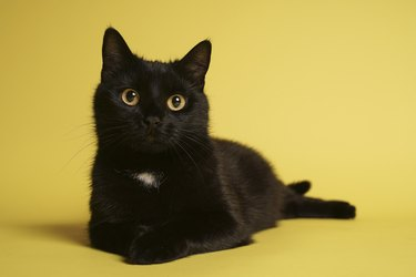 Black cat lying down on yellow background