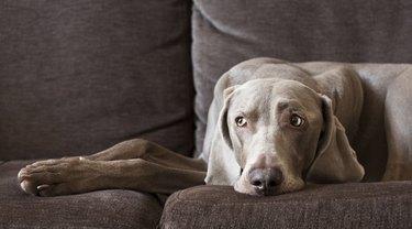 Tired dog on sofa still watching
