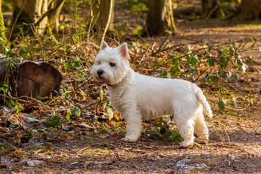 A white dog on a wooded path