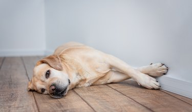 Cute purebred white Labrador retriever dog is lying on the floor