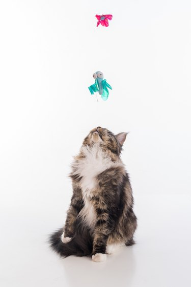 Curious Gray Maine Coon Cat Stand on White Desk with Reflection. White Background. Playing with toys.