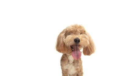 Portrait of funny puppy of maltipoo dog isolated over white background.