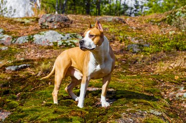 dog american staffordshire terrier in nature in the forest. tinted photo