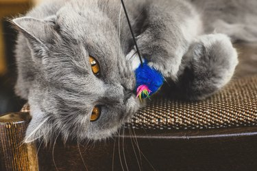 Chartreux cat catching toy