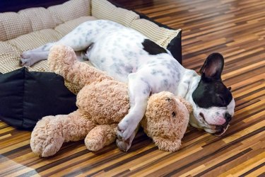 French bulldog sleeping with teddy bear