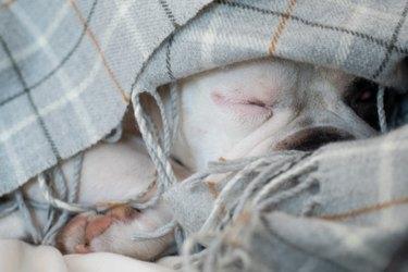 Cute French bulldog hiding under the blanket.