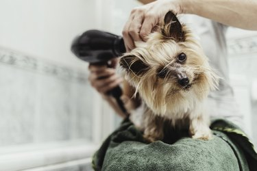 Unrecognizable woman drying her dog with a hair dryer after a bath