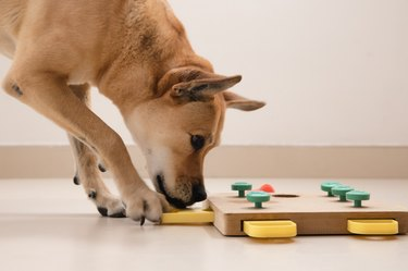 Smart dog is looking for delicious dried treats in intellectual game and eating them, close up. Intellectual game for dogs. and training of nose work with pet. brain game training for dogs