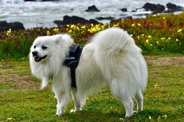 Beautiful white dog wearing Service Dog vest at ocean park