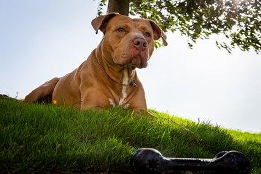 Golden Pitbull lying on the grass