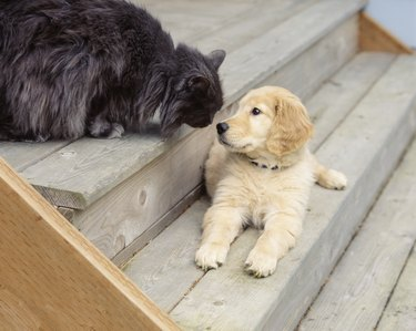 Cute, funny animal friends golden retriever puppy dog and cat pets