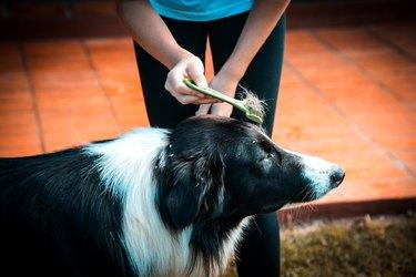 Brushing dog hair.