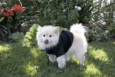 Small white dog in a black harness outside