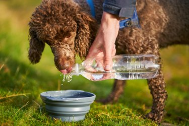 A dog drinking water while out on a walk