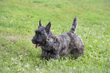 Cute scottish terrier puppy is walking on a green grass in the summer park. Pet animals.