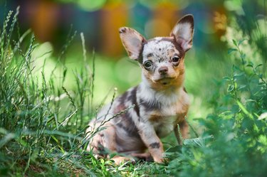 Chihuahua puppy, little dog in garden