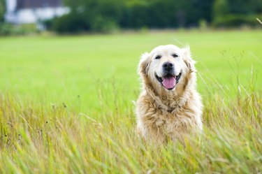 Beautiful golden retriever sitting in a field